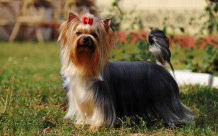 image of Yorkshire Terrier