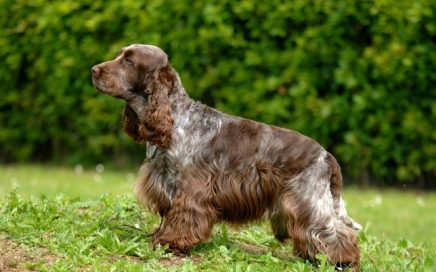 image of Cocker Spaniel