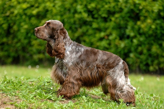 show type Cocker Spaniel