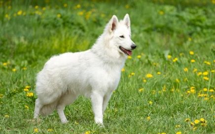 image of White Swiss Shepherd Dog