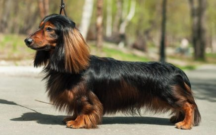 image of Dachshund (Long-Haired)