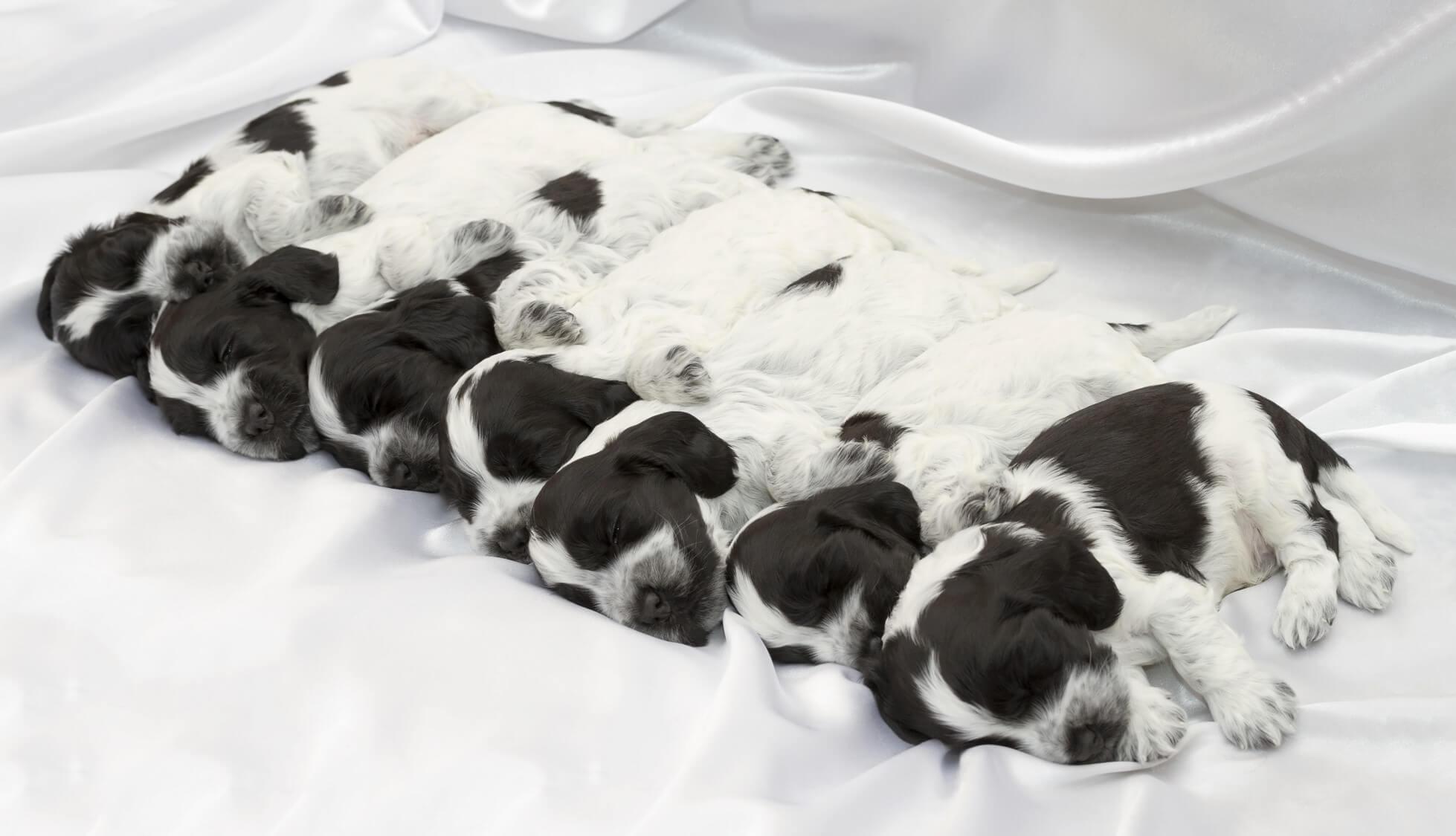 Litter of puppies sleeping