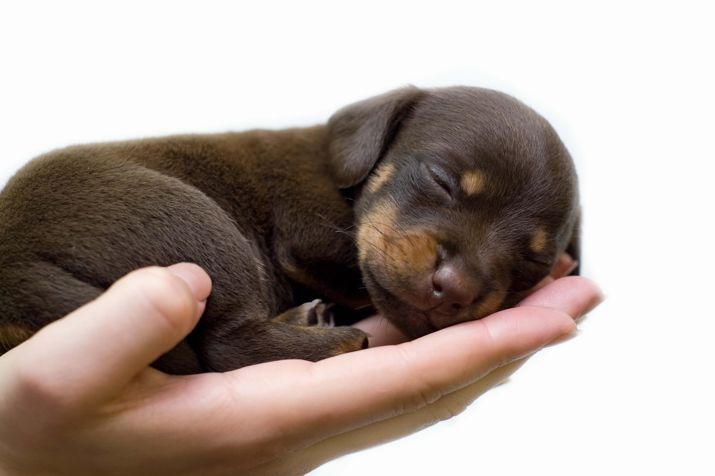 puppy asleep in breeders hands