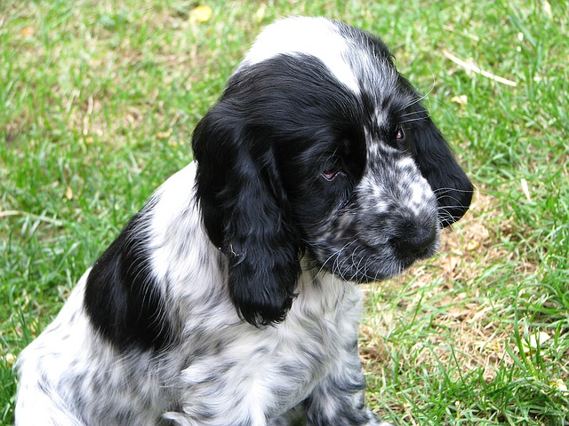 Blue Roan Cocker Spaniel puppy in the grass