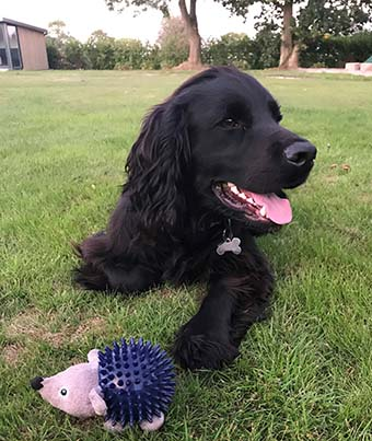 Black Cocker Spaniel laying on the grass