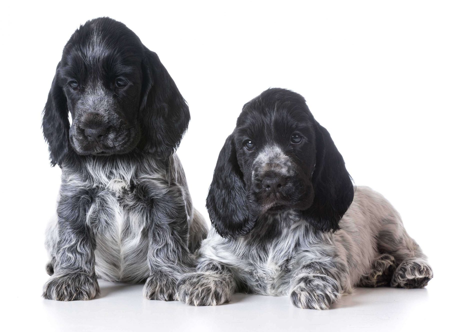 two blue roan cocker spaniel puppies