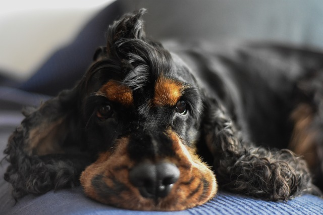 Black and tan cocker spaniel lying down