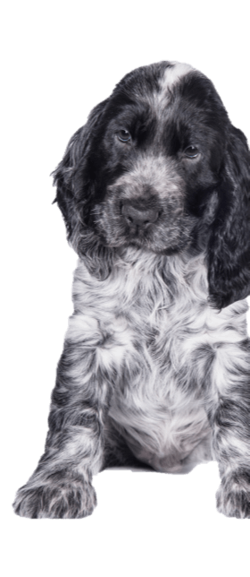 Blue roan cocker spaniel puppy sitting down