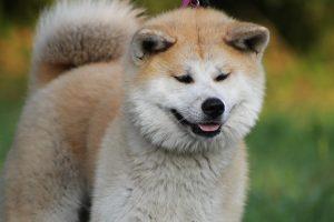 image of Japanese Akita Inu