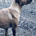 labrador retriever sire of puppies