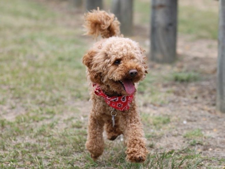 image of Poodle (Toy)