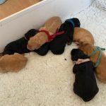 Newborn Hovawart Puppies
