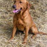 labrador retriever puppies sire