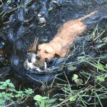 labrador retriever puppies dam