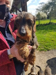 miniature wirehaired dachshund dad of puppies