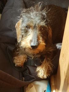 miniature wire-haired dachshund mum of puppies