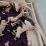 siberian husky mum of puppies