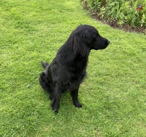 flatcoated retriever dad of puppies