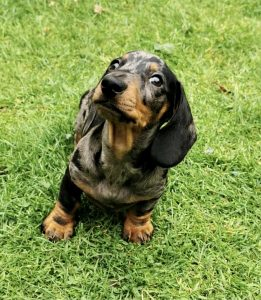 miniature smooth haired dachshund puppy for sale