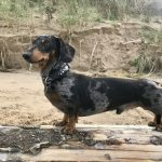 Smooth Haired miniature dachshund sire of puppies