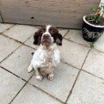 springer spaniel mum of puppies
